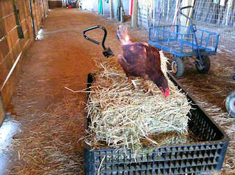 Hen looking for insects in a bale of hay