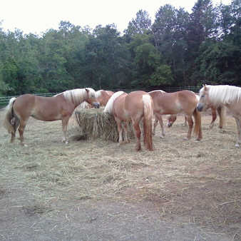 Horses sharing the round bale